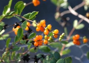Lonicera subspicata