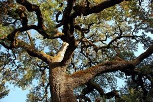 oak10